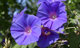 Wild purple morning glory Stock Photography