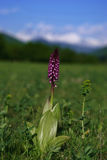 Wild purple mountain orchid Royalty Free Stock Photo