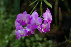 Wild purple orchid. branch of violet flowers with green leaves. Wild purple orchid. branch of violet flowers and green leaves Stock Photo