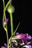 Wild purple orchids flowers Royalty Free Stock Photo