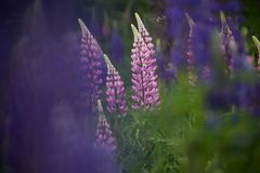 Pink and purple lupines growing in a field royalty free stock image