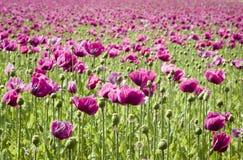 Wild purple poppies Royalty Free Stock Image