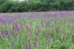 Wild purple salvia flowers Stock Image