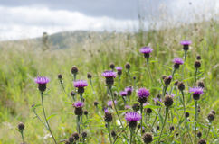Wild purple Scottish thistles against long green grass Royalty Free Stock Image