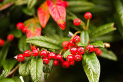 Wild Pyracantha Red Berries Royalty Free Stock Images