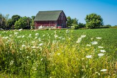 Free Wild Queen Anne`s Lace With Barn In Background Royalty Free Stock Photo - 191176145