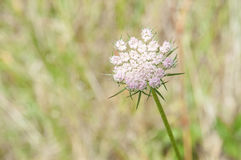 Wild Queen Annes Lace in shades of pale pink and ivory. Queen Annes Lace or wild carrot flower with pink shading at the edges Stock Image