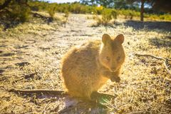 Quokka Rottnest Island. A wild Quokka outdoors in Rottnest Island, Western Australia with sunset light. Quokka is the symbol and icon of the island near Perth in Stock Photo