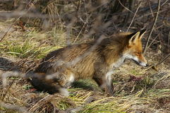 wild räv Arkivfoto