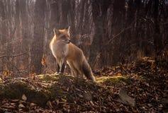 wild räv Fotografering för Bildbyråer