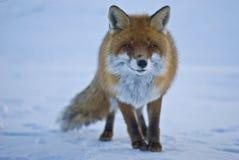 wild räv Royaltyfri Foto