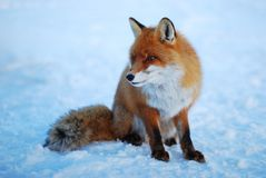 wild räv Royaltyfri Fotografi