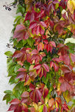 Wild rävwineväxt på en vägg Royaltyfria Bilder