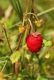 wild röd jordgubbe för bärskogar Arkivfoto