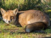 Wild röd räv Fotografering för Bildbyråer