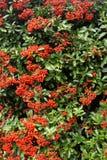 wild röd säsong för höstbärlott arkivbilder