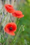 Wild röda vallmor Royaltyfri Fotografi