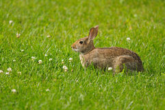 Wild rabbit Stock Photos