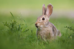 Wild rabbit. A wild rabbit grazing in green grass and thistles Royalty Free Stock Images