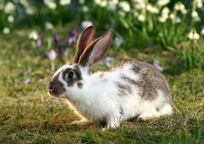 Wild rabbit. Ears of vigilant rabbit, bunny's free, early spring Stock Images