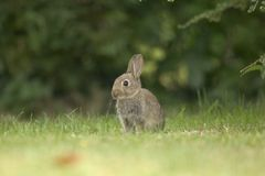 Wild Rabbit Royalty Free Stock Image