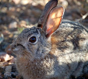 Wild Rabbit. Photographed in the southwest, as late afternoon sun filtered throught the brush stock image
