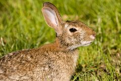 Wild Rabbit. Portrait of a wild rabbit stock photography