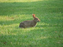 Wild Rabbit. Eating grass Stock Photos