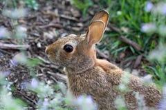 Wild Rabbit. Nicely framed selective focus closeup of a wild rabbit Stock Photo