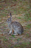 Wild Rabbit. A wild rabbit sits on a path at the Charlotte Harbor Environmental Center stock photography
