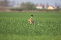 Wild rabbit. On the grass field Royalty Free Stock Photos