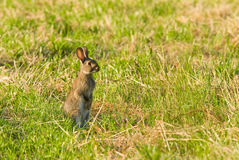 Wild Rabbit on the alert Royalty Free Stock Photography