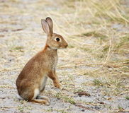 Wild rabbit alert to danger. A wild beach rabbit about to flee Royalty Free Stock Image