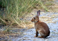 Wild rabbit on a beach track. Wild rabbit in the early morning, on a beach track Royalty Free Stock Image