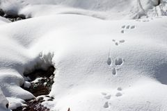 Wild rabbit bunny tracks on the snow, near a water stream in the mountains, on a sunny Winter day stock images