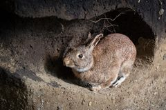 Wild rabbit in a burrow. Scene of a wild rabbit in a burrow. Oryctolagus cuniculus royalty free stock images