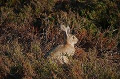 Wild rabbit among bushes. Wild rabbit sitting among bushes. Picture taken on the island of Amrum, Germany Royalty Free Stock Photo