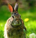 Wild rabbit close-up Royalty Free Stock Images