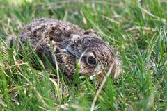 Wild rabbit Stock Image