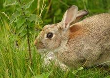Wild rabbit Royalty Free Stock Photos