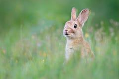 Wild rabbit. A wild rabbit in the dunes Royalty Free Stock Photos