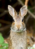 Wild Rabbit Easter Bunny. A wild Rabbit chewing on grass with its ear extended listening for any nearby danger Stock Photography