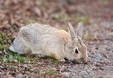 Wild Rabbit Eating Stock Photography