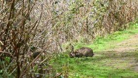 Wild Rabbit Eating stock footage