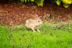 Wild Rabbit eating grass out of Yard Stock Photography