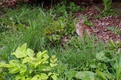 Wild Rabbit Eating Grass. On yard Stock Photography