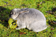 Wild rabbit eating leaf in a park Royalty Free Stock Images