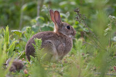 Wild Rabbit in the English countryside. Alert Wild Rabbit in the English countryside Royalty Free Stock Images