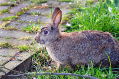 Wild Rabbit feeding on grass. Stock Photo
