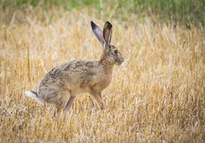Wild rabbit. Rabbit in the field Royalty Free Stock Image